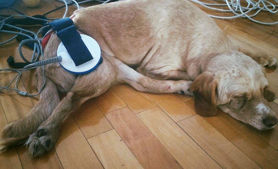 Magnetoterapia en perros Guia Mi Perro y Yo