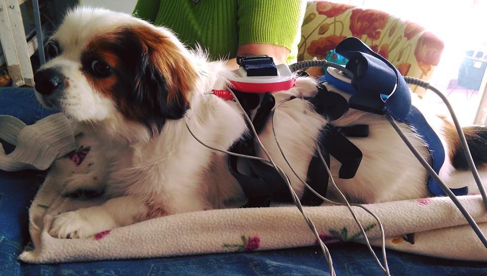 Magnetoterapia para perros aliviar dolor