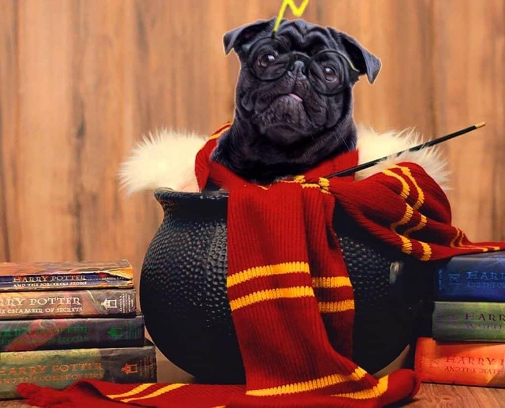 Dobby The Pug Dog Influencer 2020 Mi Perro y Yo