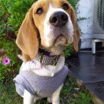 perros beagle influencers de Instagram