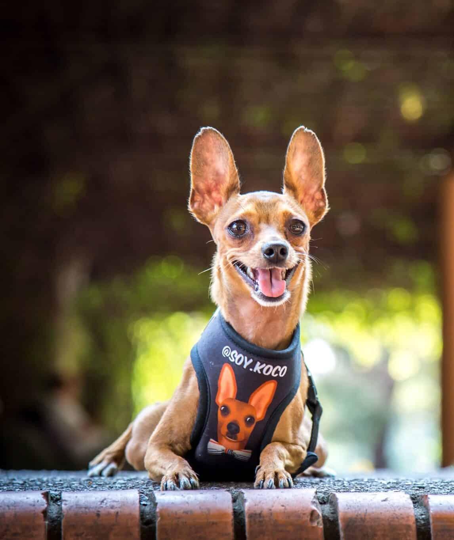 Soy Koco perro pinscher influencer en Argentina